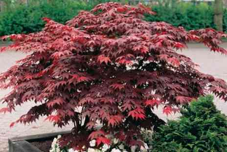 Groupon Goods Global GmbH - Two or Four Japanese Young Maple Trees with Optional Pots - Save 62%