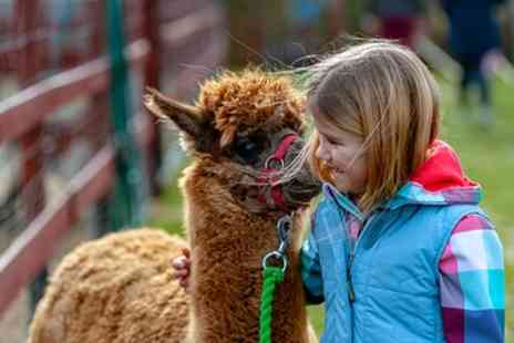 Woodlands Alpaca Farm - 90 Minute Alpaca Walk with Refreshments for Up to Four - Save 34%
