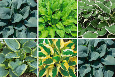 Thompson & Morgan - Collection of five Hosta plants - Save 50%