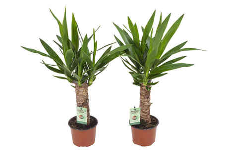 Plantheschenk - Pair of yucca palm trees - Save 0%
