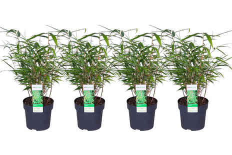Plantheschenk - Four Fargesia bamboo plants - Save 0%