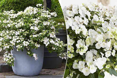 Plant Store - Hydrangea Runaway Bride Plants Snow White - Save 25%