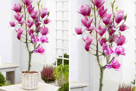 PlantStore - Magnolia Red Lucky tree - Save 62%