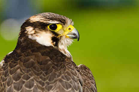 Hawksflight Falconry - Two hour falconry experience - Save 71%