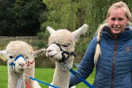 Oakmere Alpacas - 90 Minute Alpaca Walk with Refreshments for Up to Four - Save 34%