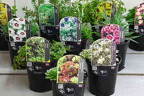 Thompson and Morgan - Three lucky dip alpine mix plant - Save 0%