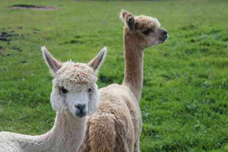 White Peak Alpaca Farm - 60 minute alpaca experience with farm entry for one - Save 0%