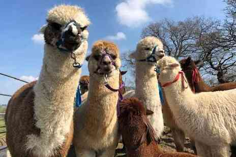 Middle England Farm Alpacas - 90 minute walking an alpaca experience for two people - Save 48%