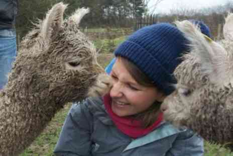 Charnwood Forest - 90 Minute Alpaca Walk for One or Two - Save 43%