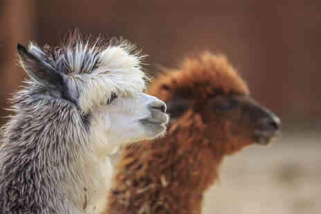 Charnwood Forest - Adopt an alpaca include a meet and greet experience - Save 55%