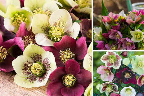 Thompson & Morgan - Pack of 10 Hellebore x Hybridus mixed bare root plants - Save 37%