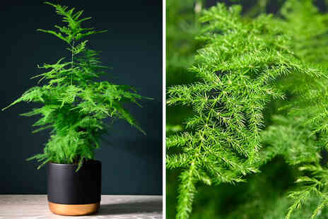 Thompson & Morgan - One potted asparagus fern - Save 54%