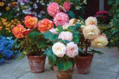 Groupon Goods Global GmbH - Begonia Mixed collection - Save 29%