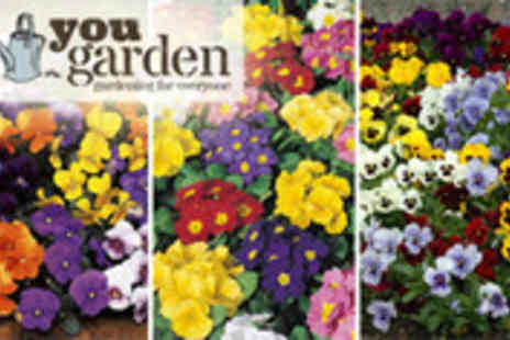 YouGarden.com - £Pack of 168 winter flowering Pansies, Violas and Primroses - Save 55%