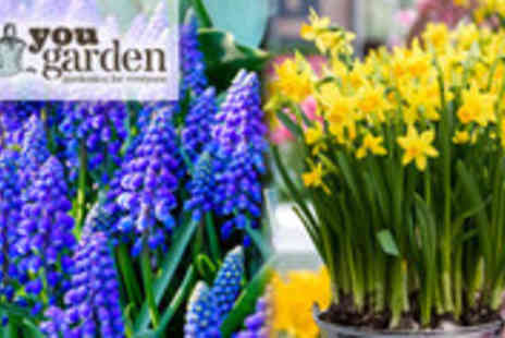 YouGarden.com - 200 spring flowering daffodil and grape hyacinth bulbs - Save 62%