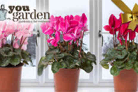YouGarden.com - Set of three potted Christmas plants - Save 35%