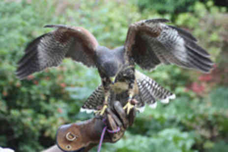 Pro Falconer - Half day bird of prey experience - Save 68%