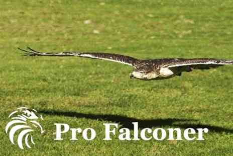 Pro Falconer - Half Day Birds of Prey Experience - Save 76%