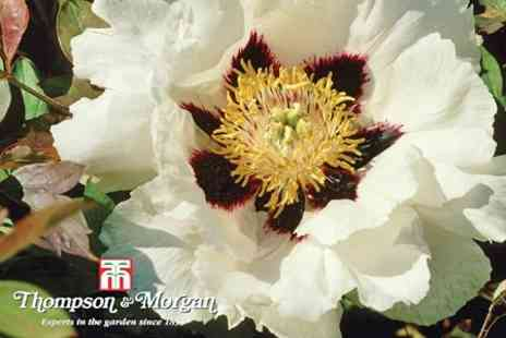 Thompson & Morgan - Tree Peony Rockii Three Shrubs - Save 69%