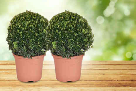 Flowers & Plants Direct - Pair of buxus balls or buxus pyramids decorate the garden - Save 52%