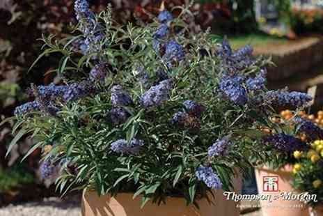 Thompson & Morgan - Six Buddleja 'Buzz' Collection Plug Plants With Fertilizer - Save 54%