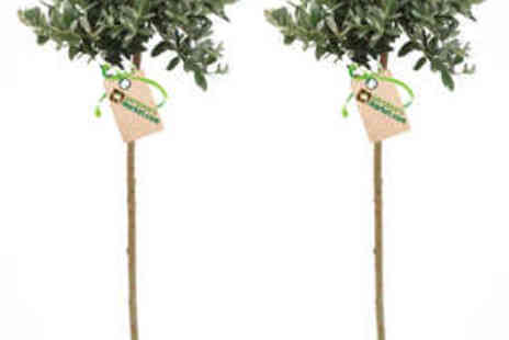 Gardeners Market - Pair of Hardy Patio Trees - Save 52%
