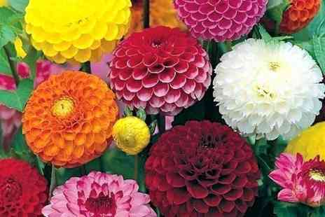 Peter Nyssen - Mixed Flower Bulbs Including Dahlias and Lilies - Save 53%