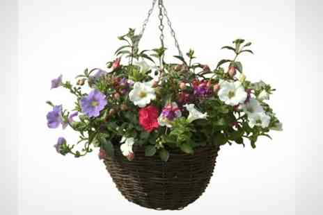 Bell Brothers Nurseries - Two Pre Planted Rattan Hanging Baskets With Marigolds and Petunias - Save 50%