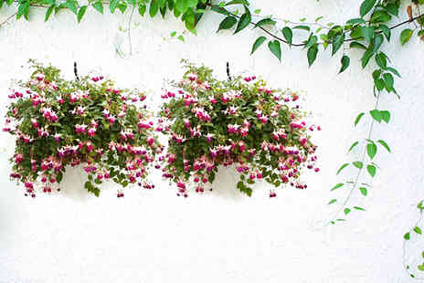 Flowers & Plants Direct - Pair of small fuchsia hanging baskets - Save 50%