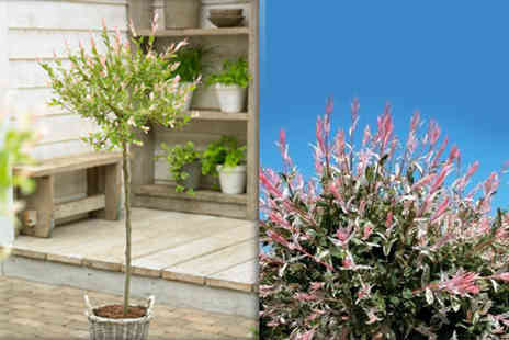 Gardeners Market - Two Salix Flamingo trees with black planters - Save 50%