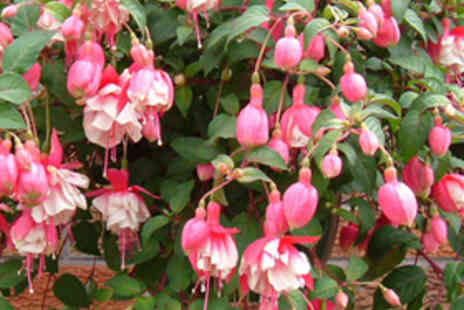 Hanging Basket Plants - Two Pre Planted Fuchsia Hanging Baskets - Save 61%