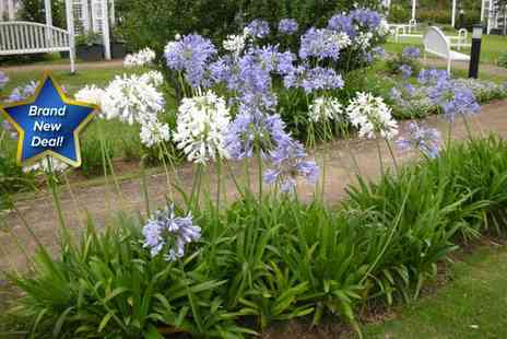 GardenersMarket.co.uk - Two Spanish agapanthus with one blue and one white - Save 50%