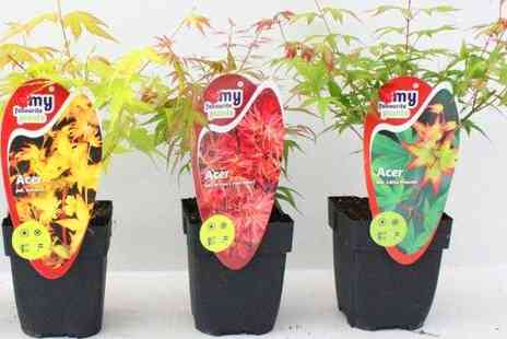 Gardeners Market - Three Potted Japanese Maple Plants - Save 50%