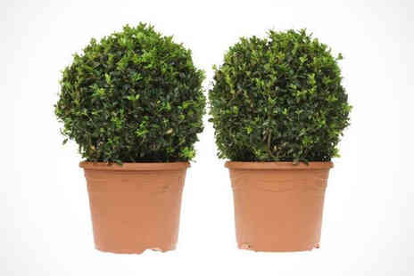 Gardeners Market - Pair of Topiary Plants with Terracotta - Save 50%