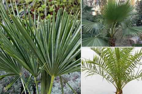 GardenersMarket.co.uk - Collection of three different varieties of Mediterranean palm trees - Save 64%