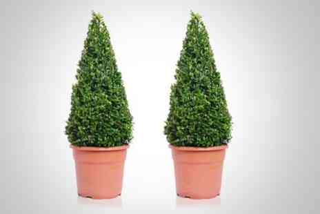 Garden Best Buys -  Two Buxus Pyramid Shrubs - Save 52%