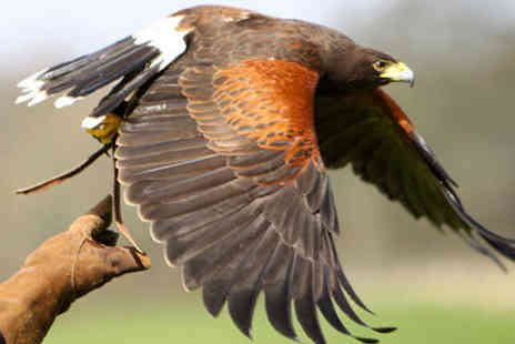 The Hawk Garden - Hour Long Interactive Hawk Walk  Including Handling Exercises for One - Save 62%