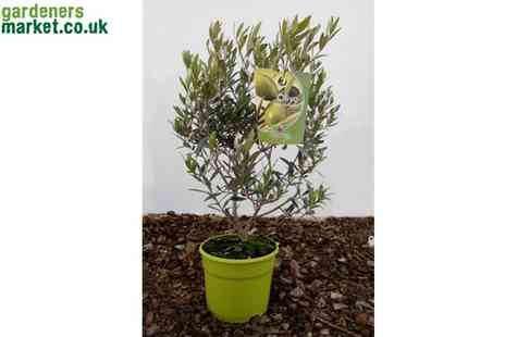 The Gardeners Market - Olive Bonsai Tree Duo - Save 38%