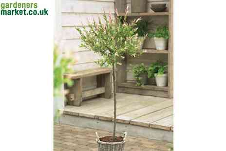 The Gardeners Market - Flamingo Salix Trees - Save 50%