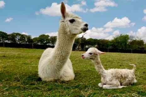 Mayfield alpacas - Farm Entry For Four With Drink Each - Save 29%