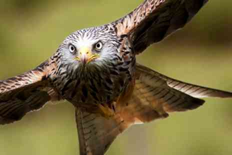 Raptor Experience Wales - Half Day Falconry & Red Kite Experience - Save 67%