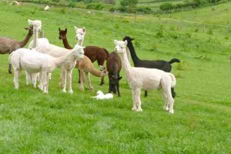 Temevale Alpacas - Two Hour Trek For Two - Save 60%