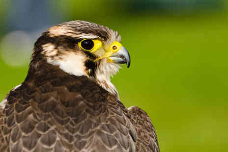 World of Wings - Two hour falconry experience for one person - Save 60%