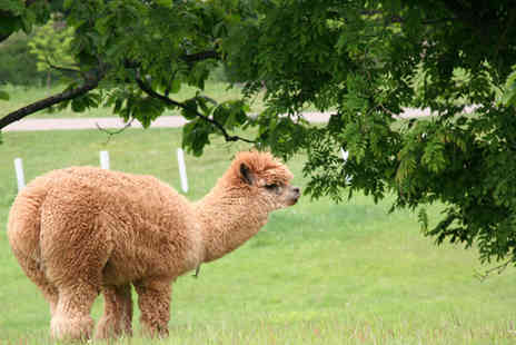 Alpaca Annie - Two hour alpaca trekking experience for 2 - Save 52%