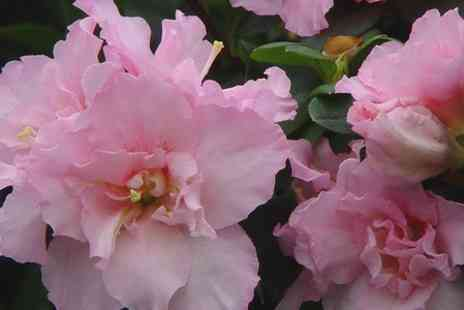 We Sell Plants - Pink Azalea Bea Tree With Azalea Vogel Plants  - Save 35%
