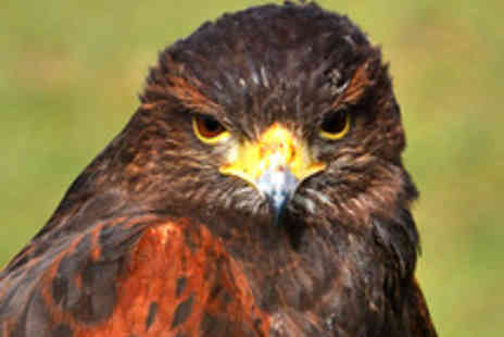Hawks of Steele - Falconry Experience for One - Save 53%