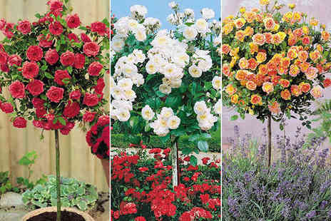 Bee Dutch - Three Mini Rose Trees Including Delivery - Save 50%