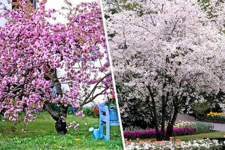 Dobies of Devon - Two pink or 2 white ornamental weeping cherry trees - Save 50%