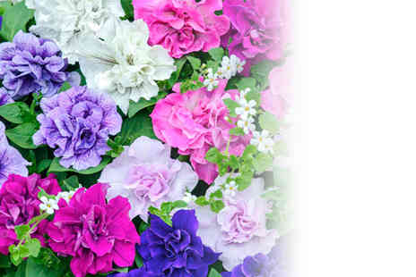 Dobies of Devon - Two hanging baskets and 6 Tumbelina petunias - Save 39%