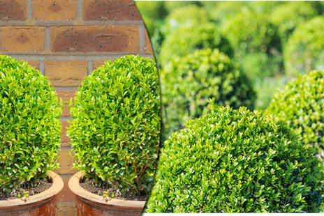 Dobies of Devon - Two Buxus Ball plants - Save 50%